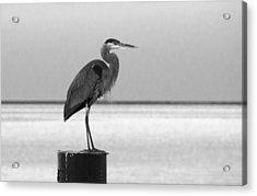 Blue Heron On Post Acrylic Print