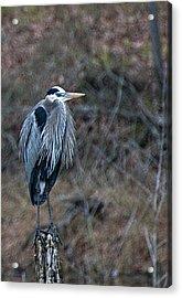Blue Heron On Stump Acrylic Print by Bill Perry