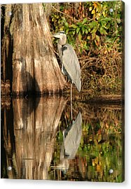 Blue Heron Reflection Acrylic Print by Jeff Wright