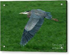 Acrylic Print featuring the photograph Blue Heron by Rod Wiens