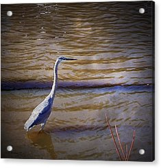Blue Heron - Shallow Water Acrylic Print by Brian Wallace