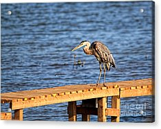 Blue Heron Spies The Dragonfly Acrylic Print by Cathy  Beharriell