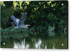 Acrylic Print featuring the photograph Blue Heron Take-off by John Johnson