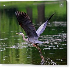 Blue Heron Takeing Off Acrylic Print by Edward Kocienski