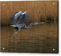 Blue Heron Takes Flight Acrylic Print