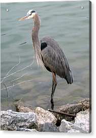 Blue Heron Acrylic Print by Wendy Coulson