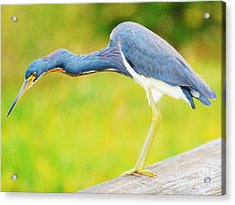 Blue Heron Acrylic Print by William Wyckoff