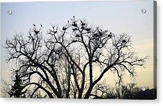 Blue Herons Acrylic Print