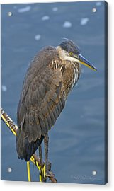 Acrylic Print featuring the photograph Blue Herron by Jim Thompson