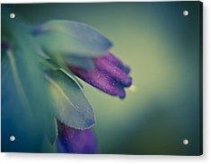 Blue Honeywort Acrylic Print by Priya Ghose