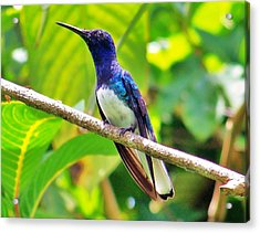 Acrylic Print featuring the photograph Blue Humming Bird by Al Fritz