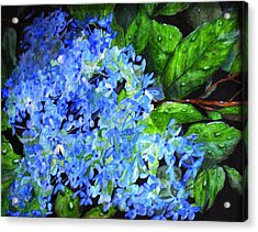 Blue Hydrangea After The Rain Acrylic Print