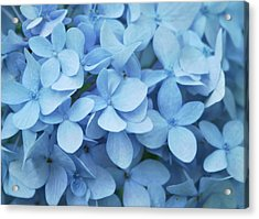 Blue Hydrangea Close-up Acrylic Print