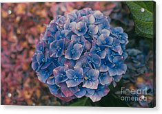 Blue Hydrangea Acrylic Print by Heather Kirk