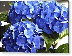 Blue Hydrangea Acrylic Print by Lehua Pekelo-Stearns