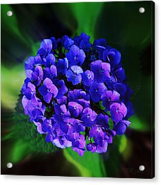 Blue Hydrangea Acrylic Print by Nick Kloepping