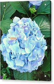Blue Hydrangea Acrylic Print by Van Ness
