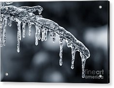 Blue Icicles On Winter Branch Acrylic Print by Elena Elisseeva