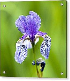 Blue Iris Acrylic Print by Frank Tschakert