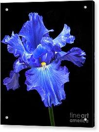 Blue Iris Acrylic Print by Robert Bales