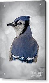 Blue Jay Alert Acrylic Print
