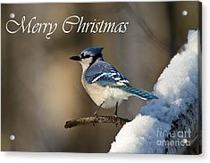 Blue Jay Christmas Card 2 Acrylic Print