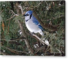 Acrylic Print featuring the photograph Blue Jay In The Cedars by Brenda Brown