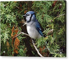 Acrylic Print featuring the photograph Blue Jay In Cedar Tree 2 by Brenda Brown