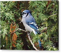 Acrylic Print featuring the photograph Blue Jay In Cedar Tree by Brenda Brown
