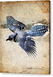 Blue Jay In Flight Acrylic Print by Ray Downing