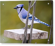 Blue Jay In Profile Acrylic Print by Ricky L Jones