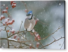 Blue Jay In Snow Acrylic Print