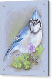 Blue Jay In Spring With Oxalis Acrylic Print