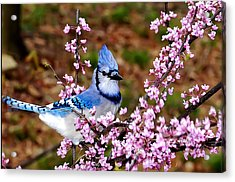 Blue Jay In The Pink Acrylic Print by Randall Branham