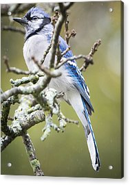 Blue Jay In The Rain Acrylic Print