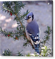 Blue Jay - Morning Visitor  Acrylic Print by Susan  Dimitrakopoulos