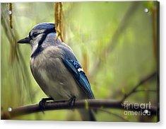 Blue Jay On A Misty Spring Day Acrylic Print by Lois Bryan