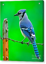 Blue Jay On The Fence Acrylic Print