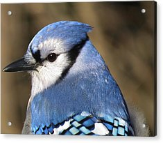Blue Jay Profile Acrylic Print by MTBobbins Photography