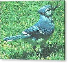 Blue Jay Acrylic Print by Rosalie Klidies