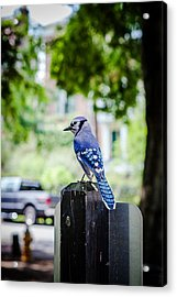 Acrylic Print featuring the photograph Blue Jay by Sennie Pierson