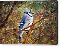 Acrylic Print featuring the photograph Blue Jay by Trina  Ansel
