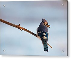 Blue Jay With Nuts Acrylic Print