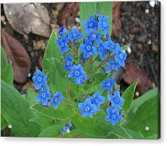 Acrylic Print featuring the photograph Blue Lambs Ear by Belinda Lee