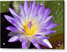 Blue Lily Acrylic Print