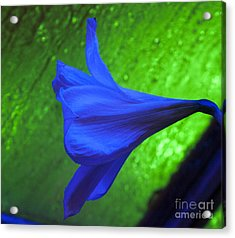 Blue Lily On Green Acrylic Print by Darleen Stry
