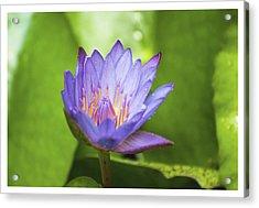 Blue Lotus Acrylic Print