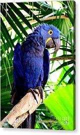 Blue Macaw Acrylic Print