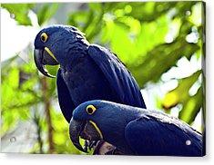Blue Macaws Acrylic Print by Ray Sandusky / Brentwood, Tn
