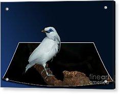 Blue Mask Bandit Bird Acrylic Print by Thomas Woolworth